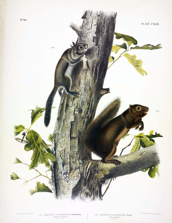 AUDUBON, John James (1785-1851) Vol. III, Plate 149, Fremont's Squirrel