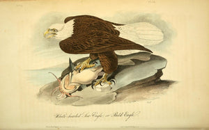 AUDUBON, John James (1785 - 1851). Plate 14, White-headed Sea Eagle or Bald Eagle