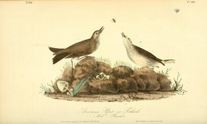 AUDUBON, John James (1785 - 1851). Plate 150, American Pipit or Titlark