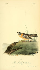 AUDUBON, John James (1785 - 1851). Plate 153, Painted Lark Bunting