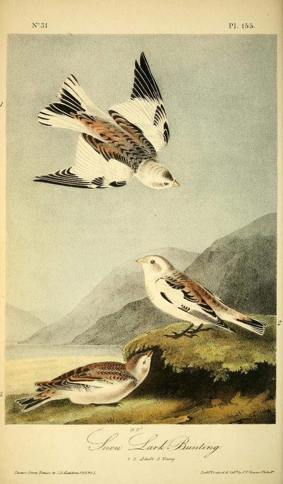 Plate 155, Black-throated Bunting