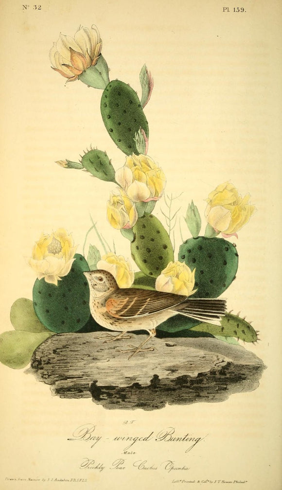 AUDUBON, John James (1785 - 1851). Plate 159, Bay-winged Bunting