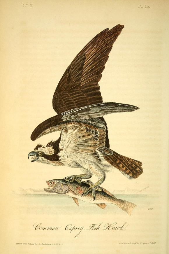 AUDUBON, John James (1785 - 1851). Plate 15, Common Osprey -Fish Hawk