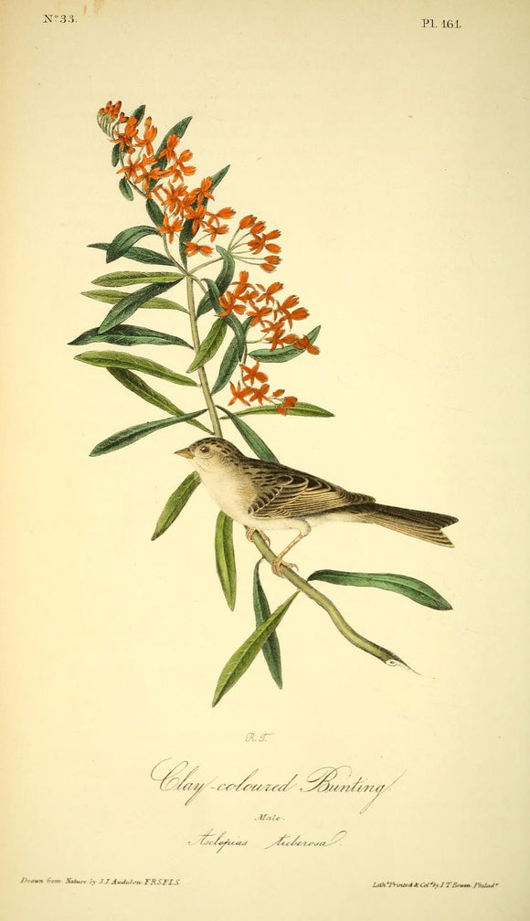 AUDUBON, John James (1785 - 1851). Plate 161, Clay-Colored Bunting