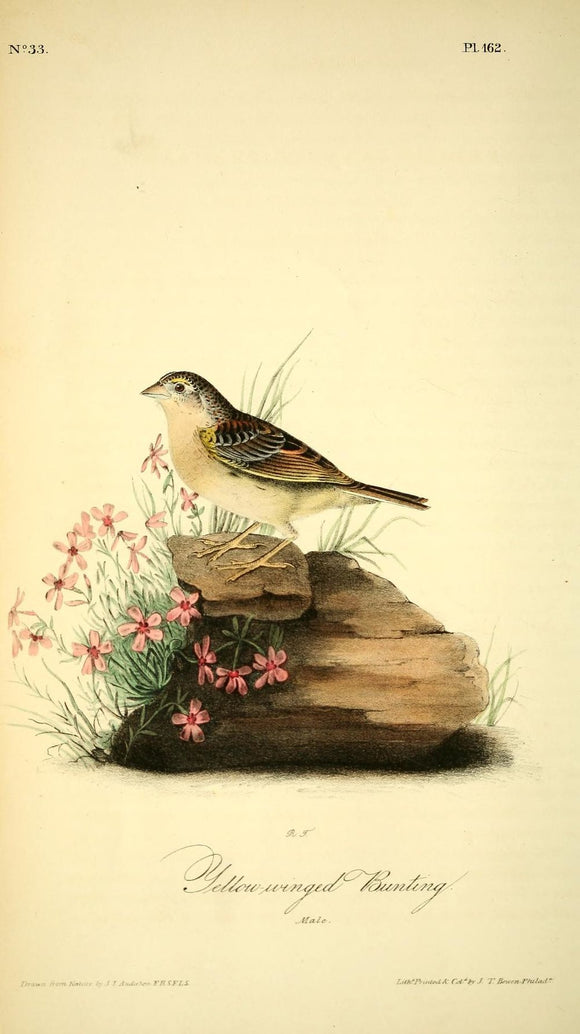 AUDUBON, John James (1785 - 1851). Plate 162, Yellow-Winged Bunting