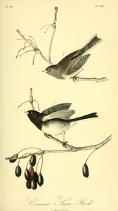 Plate 167, Common Snow Bird