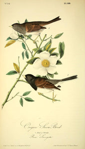 Plate 168, Oregon Snow Bird