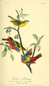 Plate 169, Painted Bunting