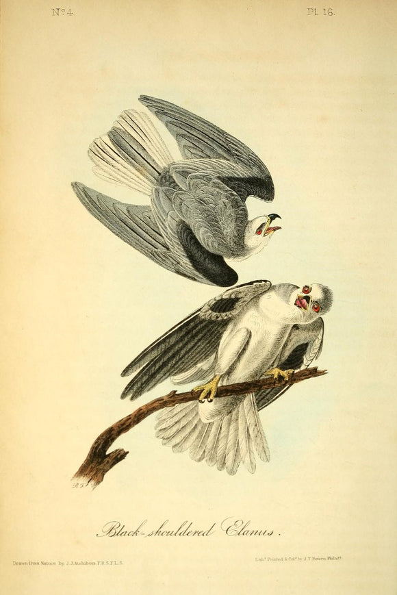 AUDUBON, John James (1785 - 1851). Plate 16, Black-shouldered Elanus