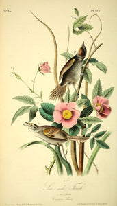 Plate 172, Sea-Side Finch