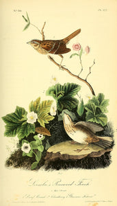 Plate 177, Lincoln's Pinewood Finch