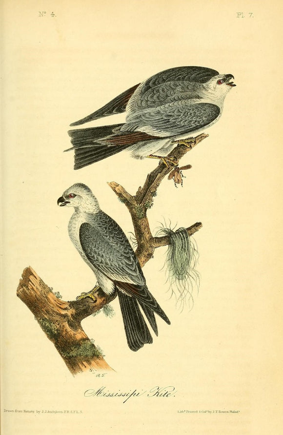AUDUBON, John James (1785 - 1851). Plate 17, Mississippi Kite
