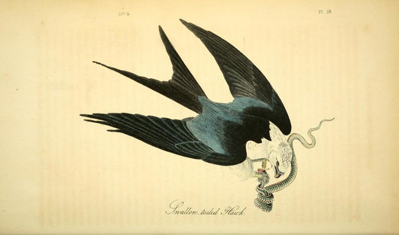 AUDUBON, John James (1785 - 1851). Plate 18, Swallow Tailed Hawk