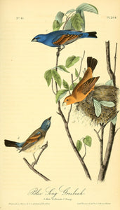 Plate 204, Blue Song Grosbeak