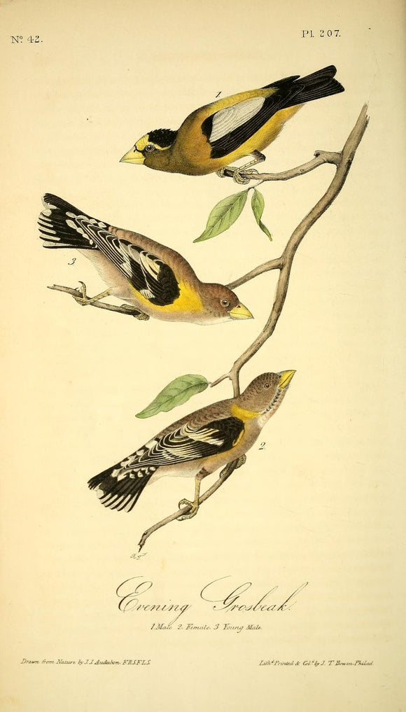 Plate 207, Evening Grosbeak