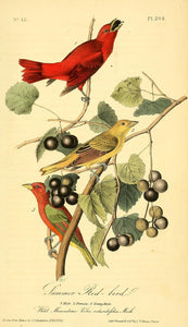 Plate 208, Summer Red-Bird
