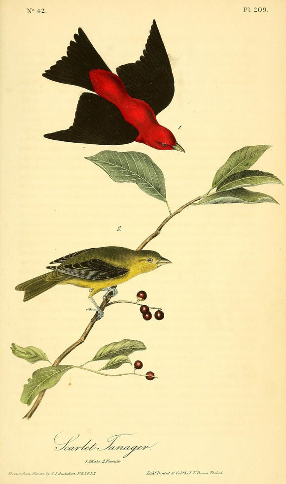Plate 209, Scarlet Tanager