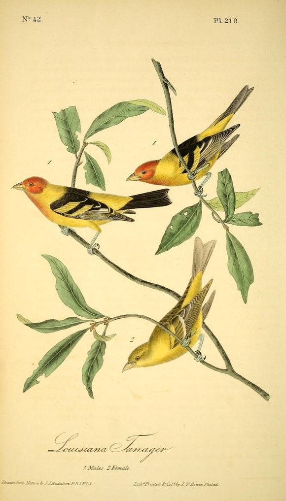 Plate 210, Louisiana Tanager