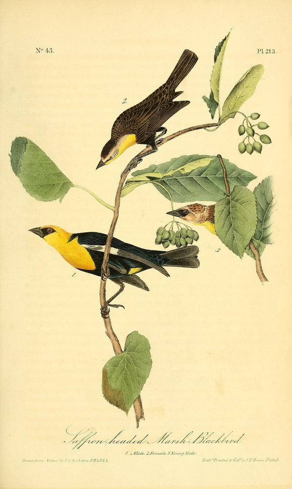 Plate 213, Saffron-headed Marsh Blackbird