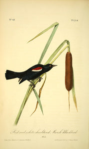 Plate 214, Red-and-White-shouldered Marsh Blackbird