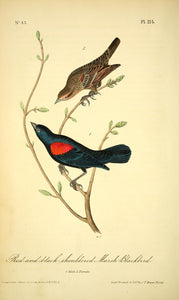 AUDUBON, John James (1785 - 1851). Plate 215, Red-and-Black-Shouldered Marsh Blackbird
