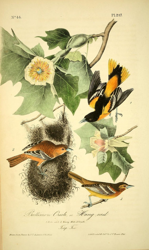 Plate 216, Red-winged Starling