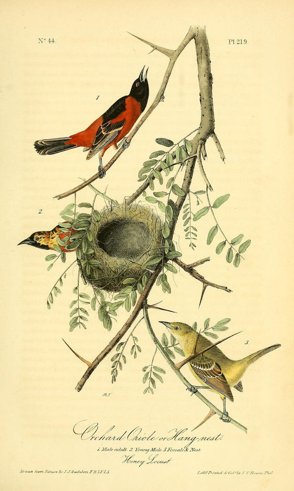 Plate 219, Orchard Oriole or Hang-Nest
