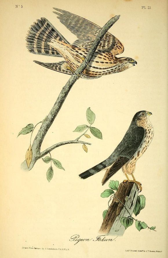 AUDUBON, John James (1785 - 1851). Plate 21, Pigeon Hawk