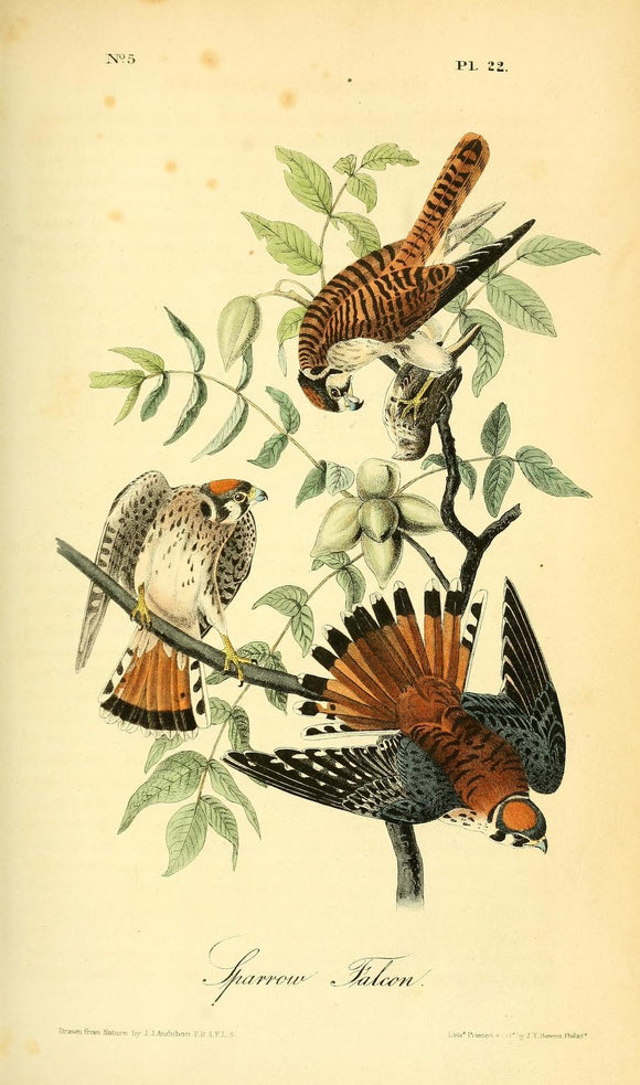 AUDUBON, John James (1785 - 1851). Plate 22, Sparrow Falcon*