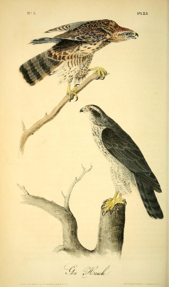 AUDUBON, John James (1785 - 1851). Plate 23, Gos Hawk