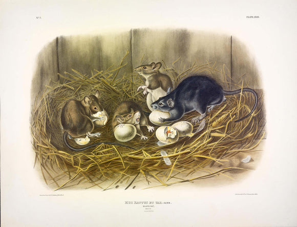 AUDUBON, John James (1785-1851) Vol. I, Plate 23, The Black Rat