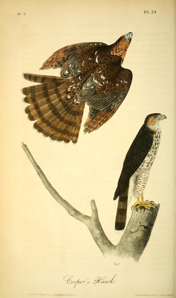 AUDUBON, John James (1785 - 1851). Plate 24, Cooper's Hawk