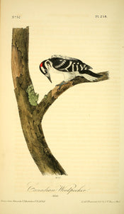 Plate 258, Canadian Woodpecker