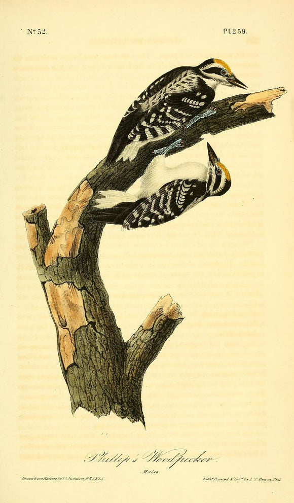 Plate 259, Phillip's Woodpecker