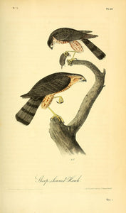 AUDUBON, John James (1785 - 1851). Plate 25, Sharp-shinned Hawk