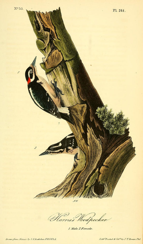 Plate 261, Harris's Woodpecker