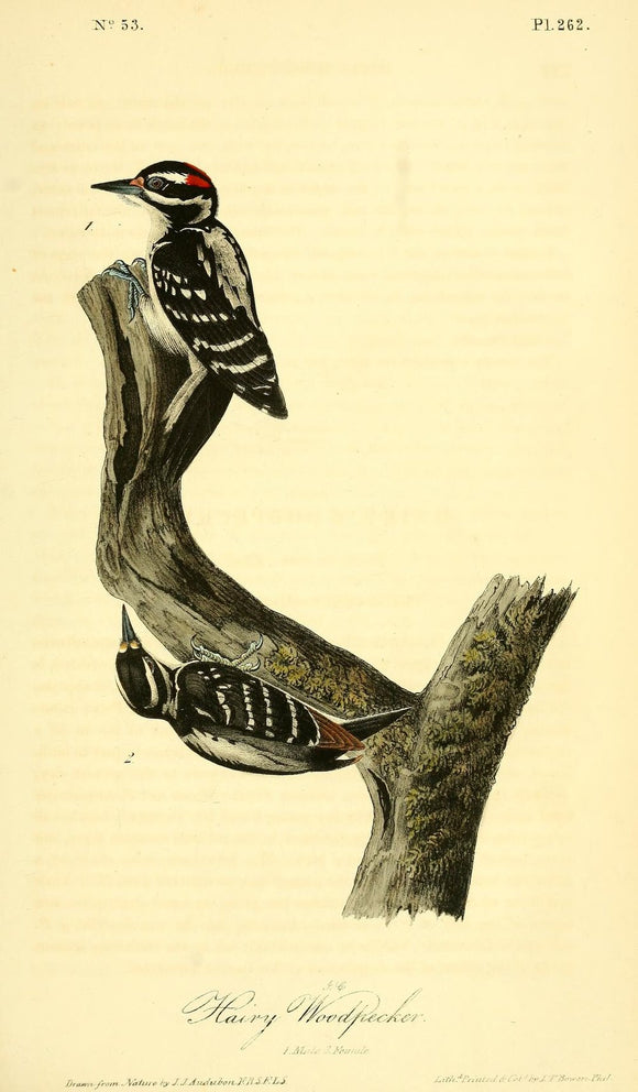 Plate 262, Hairy Woodpecker