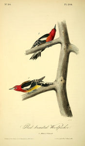 Plate 266, Red-breasted Woodpecker