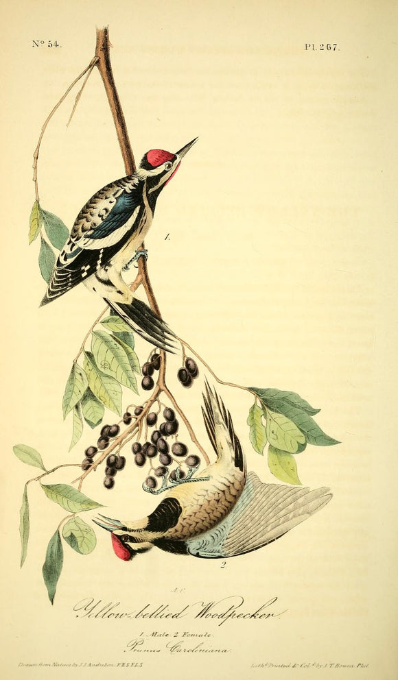 Plate 267, Yellow-bellied Woodpecker