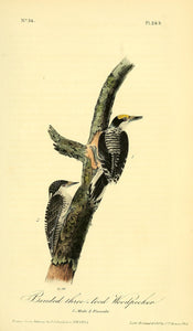 Plate 268, Arctic Three-toed Woodpecker