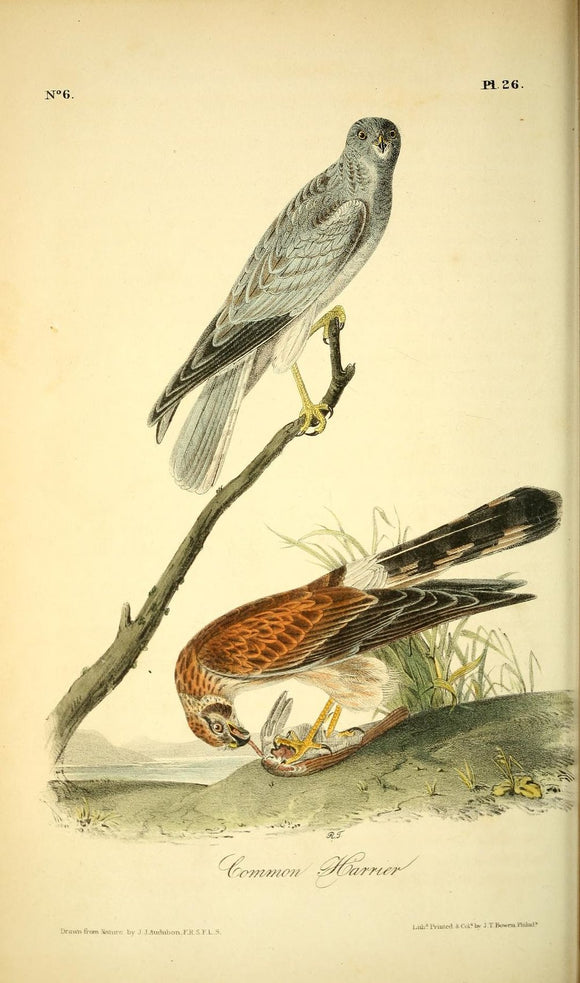 AUDUBON, John James (1785 - 1851). Plate 26, Common Harrier
