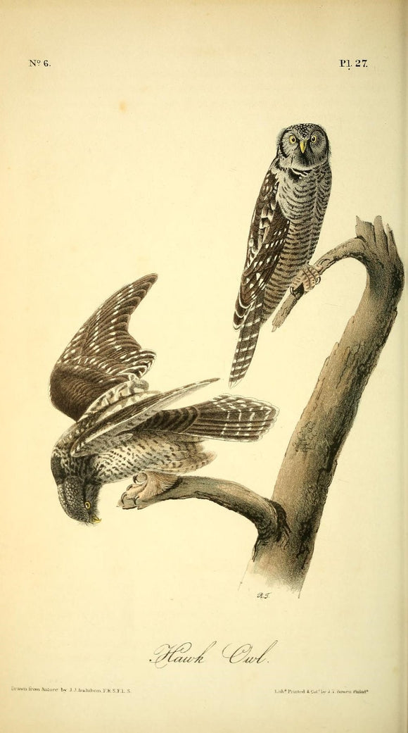 AUDUBON, John James (1785 - 1851). Plate 27, Hawk Owl