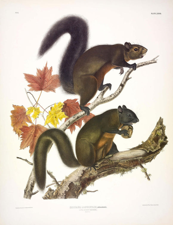 AUDUBON, John James (1785-1851) Vol. I, Plate 27, Long Haired Squirrel