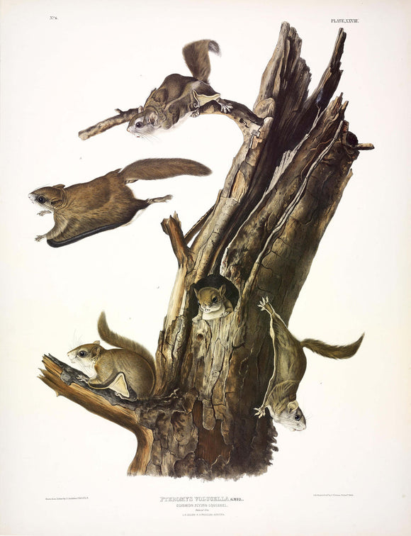AUDUBON, John James (1785-1851) Vol. I, Plate 28, Common Flying Squirrel