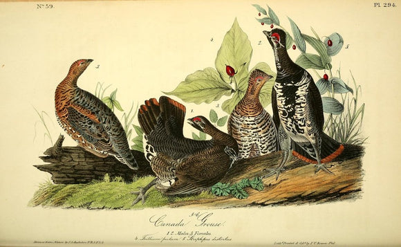Plate 294, Canada Grouse