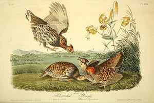 296 AUDUBON, John James (1785 - 1851). Plate 296, Pinnated Grouse