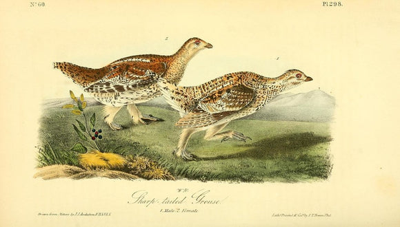 Plate 298, Sharp-tailed Grouse