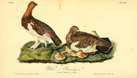 Plate 299, Willow Ptarmigan