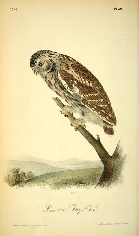 AUDUBON, John James (1785 - 1851). Plate 29, Passerine Day – Owl