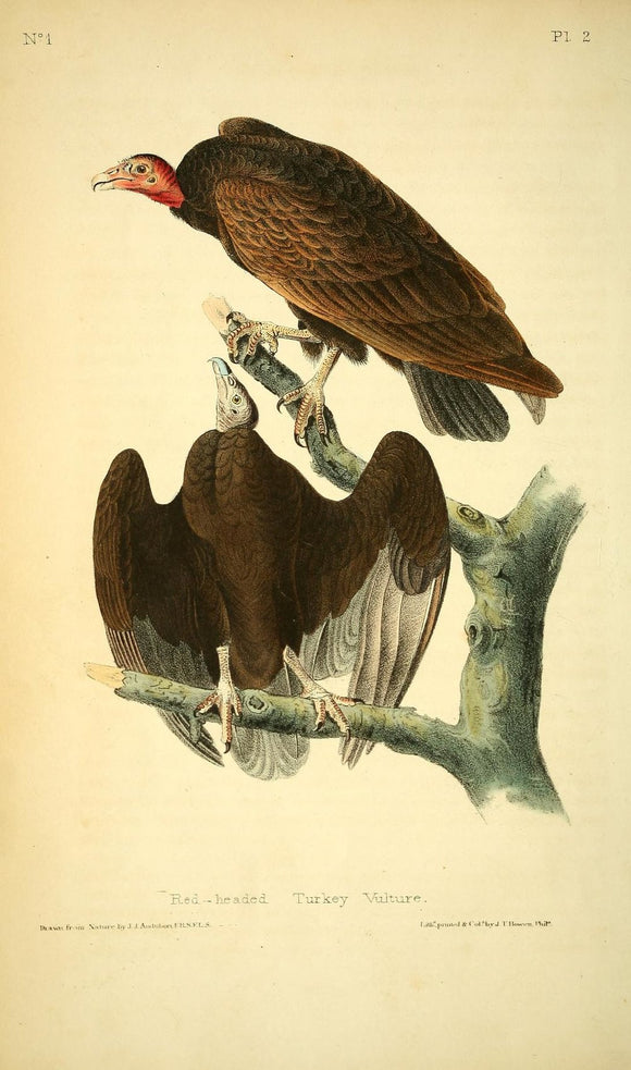AUDUBON, John James (1785 - 1851). Plate 2, Red Headed Turkey Vulture